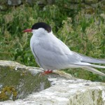 Arctic Tern Inner Farne