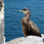 Cormorant - Inner Farne
